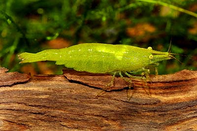 Caridina cf. babaulti (Yeşil Karides)