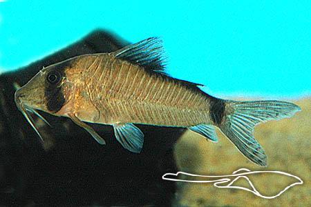 CORYDORAS SIMULATUS - Speciaalzaak voor aquarianen en vijver ...
