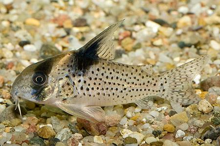 CORYDORAS MELANISTIUS MELANISTIUS - Speciaalzaak voor aquarianen en ...